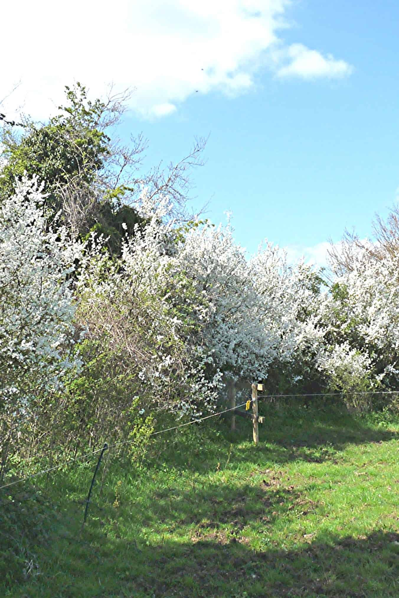 Blackthorn at Winsley Cover Picture